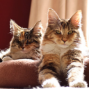This is a picture of Myrtle and Marmalade Maine Coons