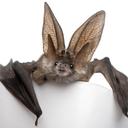 bat-puke