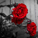 empress-of-roses-and-thorns