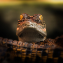 pro-crocodiles