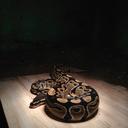 snakehandlingbarista