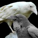 ravenpoop