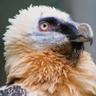 zzri-bearded-vulture