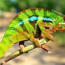 arctic-chameleonus