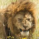 grizzlystallion