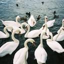 the-swan-kingdom-blog