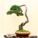 bonsaiheaven