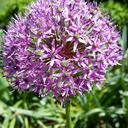 purpleapples97125