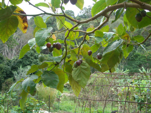 Fruiting tamarillo, a pretty sight! Fruits ripen at various rates, so colours vary.