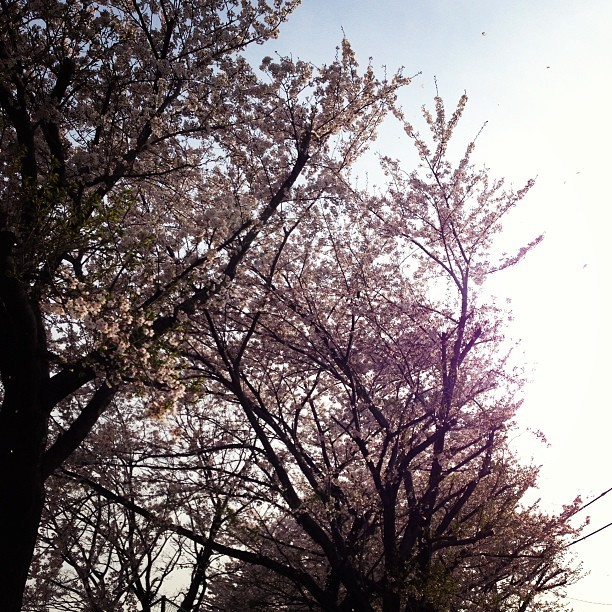 プチ桜吹雪;D #sakura #cherryblossom #flower #tree #afternoon #spring #japan