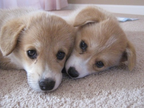 corgiaddict:  Daisy and Lilly posing