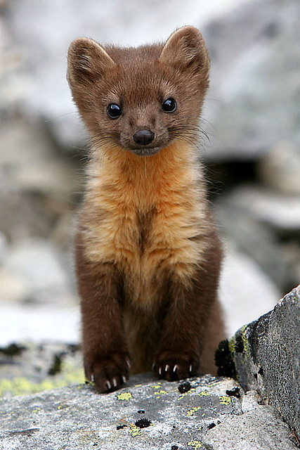 giraffe-in-a-tree:  Curious Marten by Adam Lyon on Flickr.
