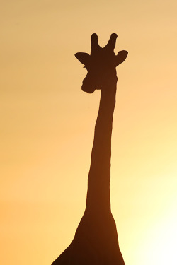 earthlynation:  Portrait of Giraffe by serhatdemiroglu