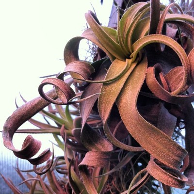 Tillandsia streptophylla with curly leaves