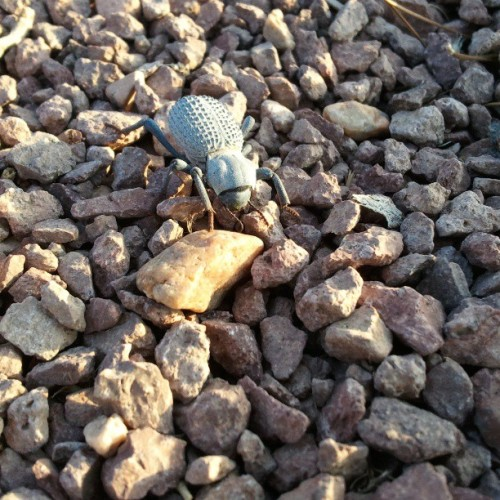 Weird Blue Beetle #bug #desert #instanature #nature #picoftheday #androidonly #nofilter