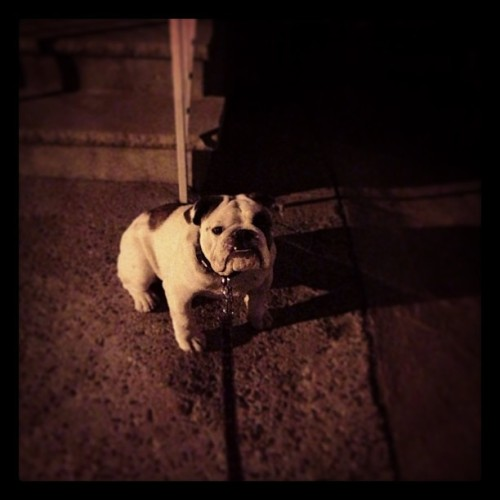 Just woke him up for his night walk, he was not happy! #bulldog  (at Hrndz Household)