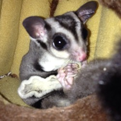 #adorable #cute #sugarglider #baby #exotic #pet #animals this picture melts my heart