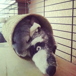 Naptime with Mr. Raccoon again.