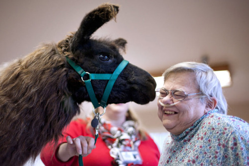 laughingsquid:  Therapy Llamas Bring Love & Kisses to Nursing Home Patients