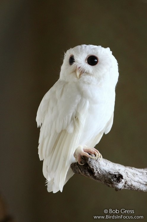 earth-song:  Cotton, the albino Eastern Screech Owl (Megascops asio)
