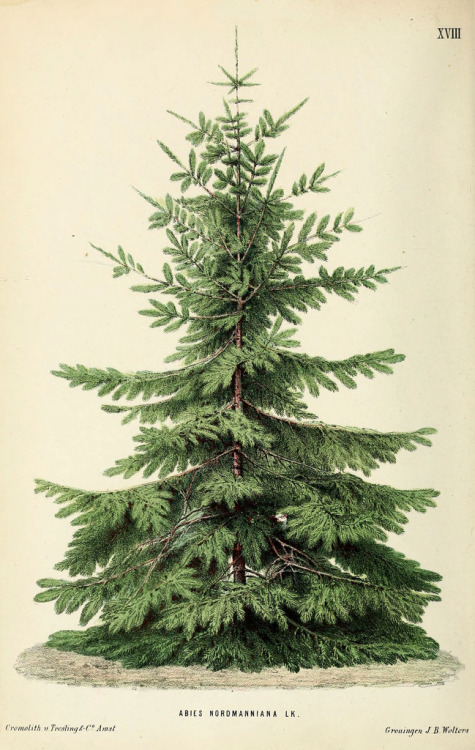 Abies nordmanniana - the Nordmann Fir
