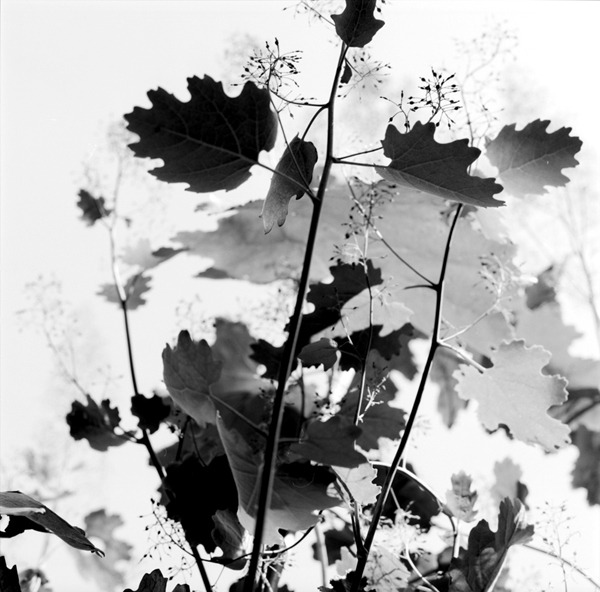 "Christian Tuempling, Macleaya Cordata, 2009 Photography points and declares things as they are. When William Henry Fox-Talbot made his first photogenic drawings, he described the process as allowing objects to draw themselves ""without the aid of the artist's pencil"", ignoring the human interception between the subject and concurrent photograph. Cultural knowledge of the medium have hinged on this interpretation of signs and their real-world referents and built our current awareness of what photographs mean. Because we are preconditioned towards this straight-forward understanding, contemporary photography can do more: suddenly a leaf references complex social conditions instead of just itself. Christian Tuempling photographs foliage to suggest relationships with the objects that aren't obvious. It is not the leaves themselves that are important but rather their display. The depiction itself references modernist advertising to suggest our current relationship to nature: removed, packaged and presented just like cabinets of curiosities and museum displays have historically done. Urban society experiences a mediated, protected nature and Christian's work relies on the slickness of a silver gelatin print to communicate this degree to which we remain removed from our natural world. Christian Tuempling, a native of western Europe, lives and works in Brooklyn, NY. His work has been shown in the United States and Europe, including a show at MoMA, and is included in in collections at the Museum of the City of New York and the New York Transit Museum. for more, please visit http://tuempling.com"