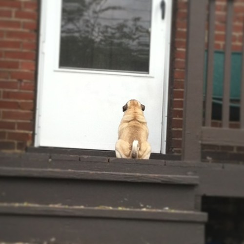 bahhumpug:  kellkell0:  Elway has decided he wants to go inside.  His only problem? That is not our door.   My girls do this in my parents neighborhood all the time.