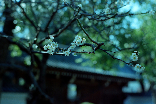 ileftmyheartintokyo:  白梅 by drsato60 on Flickr.