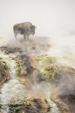 animalkingd0m:  Steamy Bison by Peter Cairns