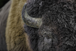 tagthesun:  Bison up close by Daniel Parent