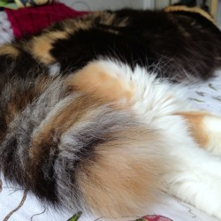 I love my Kimi's tail! She's like a raccoon or red panda.