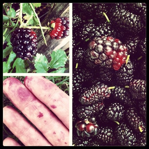 hit the blackberry + mulberry mother lode today
