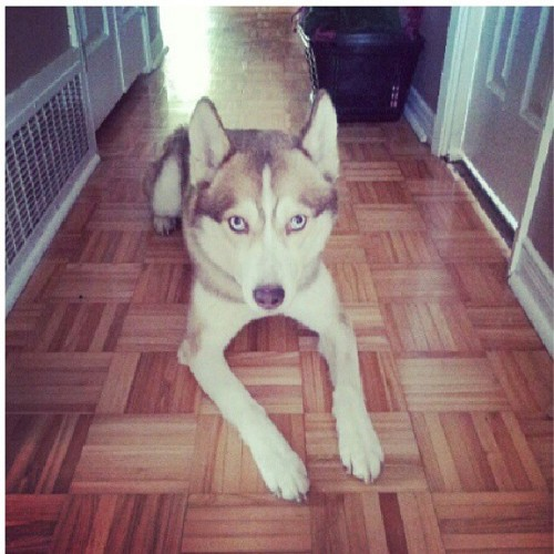 How my boy looking. Posted up like a real g, whats good? Lol Max :) #Husky #BlueEyesHusky