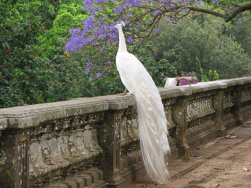 kingnovamiu:  White Peacock, Botanical Garden, Lisbon, Portugal
