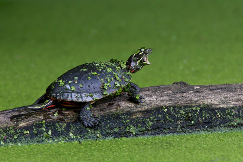 "wild-earth:  ""I Am Turtle, Hear Me Roar"" by Jim Cumming"