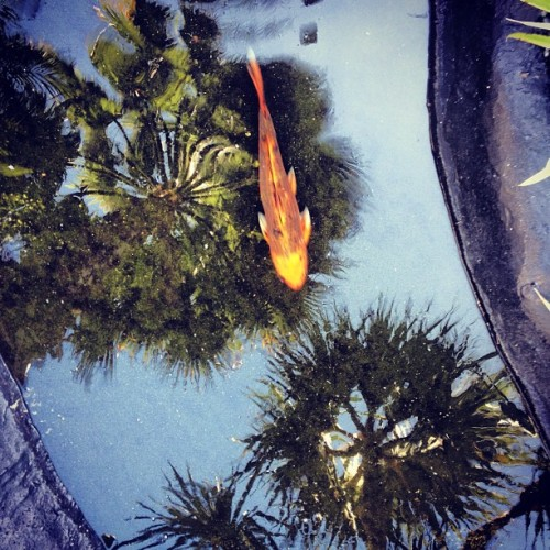 Koi and 🌴  (at The Towers of Key Biscayne)
