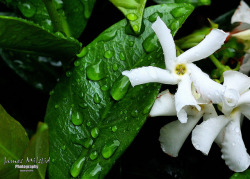 Jasmine on Flickr.