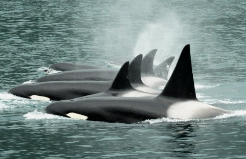 "fuckyeahkillerwhales:  ""Other orcas frequent these waters: residents (fish-eaters) in larger, gregarious maternally-structured pods; offshores (shark-eaters) dipping inshore only rarely to feed on the enormous, fatty livers of Pacific sleeper sharks; and roving Gulf of Alaska transients, combing the shorelines across a thousand-mile range for marine mammal prey. Though they encounter, and certainly hear, one another, with these other populations, the Chugach transients do not interact. They are genetically and acoustically distinct. Why? It's one of the mysteries. Perhaps they evolved ""on a different day,"" for a different world, relatively small populations of apex predators robust in an abundant, unpolluted ocean, each occupying a unique niche. But that is not the world in which the Chugach transients find themselves today. As of this writing, only seven remain on earth. Those (along with other transient orcas) are among the most contaminated creatures known to science, bearing in their blubber dangerous levels of PCBs, DDTs, and flame-retardants. The male named Eyak survived the oil spill, but 11 of 22 Chugach transients did not, succumbing, we believe, to physiological damage caused by breathing hydrocarbons and ingesting oil-coated seals."" (Read the whole article here: Unique Alaskan Orcas Slip Toward Extinction.)"