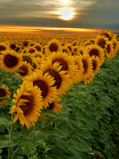 igorz77:  Sunflowers