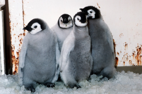"todaysdocument:  April 25 is World Penguin Day!  ""Four emperor penguin chicks huddle together in a quarantine area at Sea World. The penguins were flown to the U.S. from McMurdo Station, Antarctica, to be part of a National Science Foundation study, 11/16/1988"" MSgt. Jose Lopez, Jr, photographer.   From the Combined Military Service Digital Photographic Files  Many thanks to our junior curators, Thea and Liam, here as part of Take your Child to Work Day at the National Archives, who helped to select the best penguin photo to share!  Thea said last night ""Liam, we're famous on the internet!"" And then they high-fived each other."