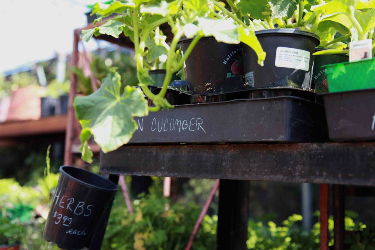"kcetliving:  Container Culture: Four Easy Must-Haves to Start Your Garden Blind ambition can be a dangerous thing, like when Donald Duck baked an airplane without checking if the weather forecast called for rain. It's important to do a little bit of planning so you don't throw your money away and get discouraged. ""Many people plant the wrong things with good intentions,"" says Al Renner, Acting Executive Director of the L.A. Community Garden Council. ""A beginning gardener will go into a nursery and assume everything there can be planted right now. Sometimes nurseries have sales for end-of-season items that won't grow right, but a beginning gardener doesn't know that."" A safe bet? Start with 3 or 4 plants that don't require you to fuss over them too much. Yvonne Savio, Program Manager for University of California's Common Ground Garden Program, recommends growing tomato, pepper, cucumber, and squash. When given the option, make sure you're buying the dwarf or space-saving variety. Get more tips here!"