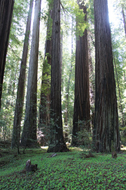 woodlandsouls:  Redwoods (by quiet nymphs)