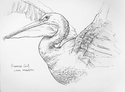runjimmyrun:   a drawing of a herring gull from my austin urban sketch group meeting last year.  the Texas Memorial Museum has a decent collection of taxidermy. pen and ink, 2012    This is probably a Pelican and not a gull