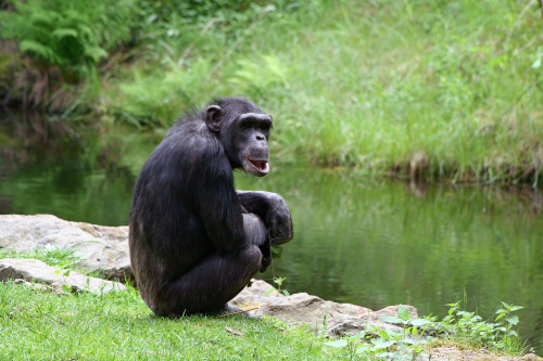 "(via Discovery News) Chimps Have a Sense of Fairness Humans aren't the only ones who cry ""no fair."" In a classic test of fairness called the ultimatum game, apes will dole out an equitable share of their bananas — and when they don't, their partners will complain, a new study shows."