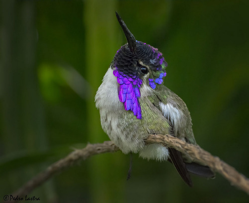 animal-obsession:  Male Costa's Hummingbird, Wings of the Tropics, Fairchild Tropical Botanic Garden - pedro lastra