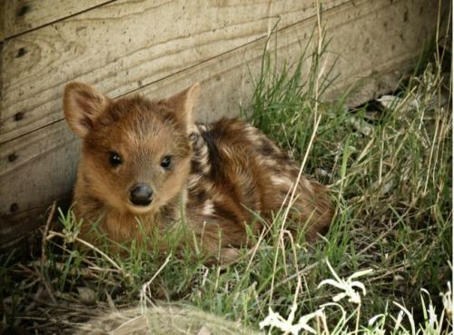 Pudu, the world's smallest species of deer.