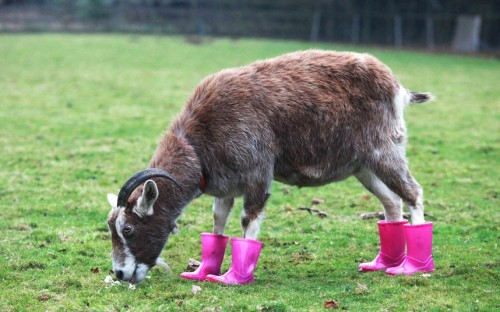 allcreatures:   Maisie the Goat at Maria's Animal Shelter in Probus, Cornwall, suffers from arthritis and has to wear wellington boots to help her condition. Recent downpours have left 12-year-old Maisie constantly squelching around in puddles and mud. So her keepers have provided pink wellies to protect her from foot rot - the animal equivalent of trench foot.  Picture: SWNS.com (via Pictures of the day: 14 December 2012 - Telegraph)