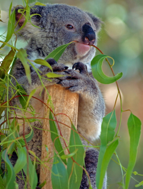 beauty-of-the-beasts:  Koala Eating Gum Leaves - by Simon Woolley
