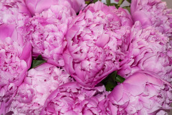 terrysdiary:  My favorite flowers are Peonies #2