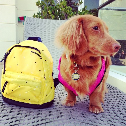 "thefluffingtonpost:  Local Puppy Can't Wait for Summer School is almost out for Winnie, an area puppy who can't wait for summer. ""She's so excited about it,"" said third grade teacher Mrs. Jenkins, ""that Winnie actually turned in an essay called, 'How I Plan to Spend My Summer Vacation,' that wasn't even assigned."" According to the copy of the essay, obtained by The Fluffington Post, the dog plans to chase tennis balls, bark at the cat, roll in smelly stuff and dig a big hole under the porch.  Sounds like quite a summer. Via teamerriestjam."